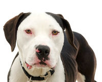 Pit bull isolated on white. Brown and white american pit bull terrier with brown eyes, red sclera of eyes from cold virus, emaciated after being abandoned Royalty Free Stock Photography