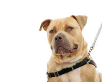 Pit bull isolated on white Royalty Free Stock Image