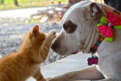 Pit Bull and kitten. Become best friends after kitten comes out of his shell. Slim, the cat paws at Mallory, the Pit Bull, for a reaction. They are inseparable Royalty Free Stock Image