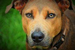 Pit bull mix dog with amber eyes Stock Photo