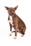 Pit Bull Mix Dog Happy Stock Image