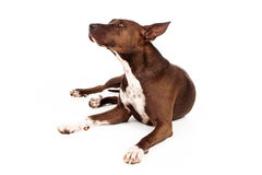 Pit Bull Mix Dog Looking to Side Stock Photography
