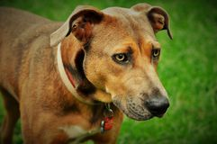 Pit bull mix dog outdoors Royalty Free Stock Photos