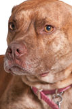 Pit Bull Mix Dog Royalty Free Stock Photos