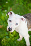 Pit bull mix with two different colored eyes looking directly up at camera Stock Photos