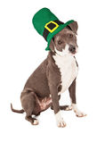 Pit Bull Mix Wearing St Patricks Hat Stock Photo