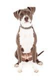 Pit Bull Mixed Breed Dog imagenes de archivo