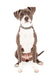 Pit Bull Mixed Breed Dog Stock Images