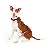 Pit Bull Mixed Breed Dog Happy Royalty Free Stock Images