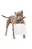 Pit bull with a placard in the teeth Stock Images