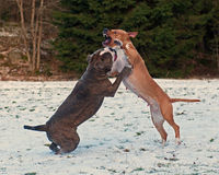 Pitbull play fighting with Bulldog in the Snow. Red Pitbull play fighting with blue brindle Olde English Bulldog in the Snow royalty free stock images