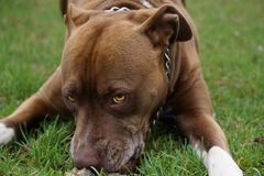 Pit Bull Playful Portrait Royalty-vrije Stock Foto