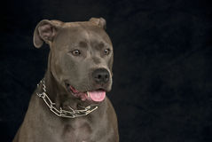 Pit Bull Portrait Royalty Free Stock Photos