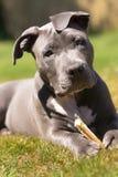 Pit Bull Pup Pauses While adorável que mastiga o osso imagens de stock
