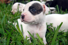 Pit Bull Puppies. Black and white pit bull puppy in grass Stock Photography