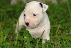 Pit Bull Puppy. Black and white pit bull puppy in grass stock photos