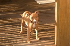 Pit Bull Puppy. A young pit bull terrier pup standing on a deck in filtered sunlight stock photos