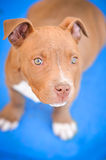 Pit Bull Puppy. A pit bull puppy ready for adoption stares into the camera royalty free stock photo