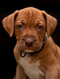 Pit Bull Puppy Royalty Free Stock Photography