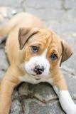 Pit Bull Puppy royalty-vrije stock foto