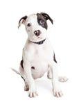 Pit Bull Puppy Fotografía de archivo libre de regalías