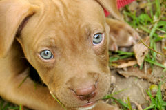 Pit Bull Puppy. Adorable brown pit bull puppy dog with blue eyes royalty free stock photo