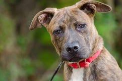 Pit Bull Puppy Adoption Photo imagens de stock royalty free