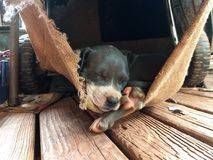 Pit bull puppy asleep royalty free stock photos