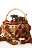 Pit bull puppy in basket playing with ribbons Stock Photos