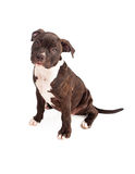 Pit Bull Puppy Black and White Stock Images