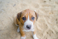 Pit bull puppy. Close up puppy pit bull sitting on ground Royalty Free Stock Photos