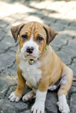 Pit bull puppy Royalty Free Stock Image