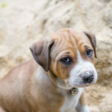 Pit bull puppy Stock Photos