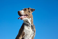 Pit Bull Puppy Royalty Free Stock Images