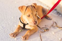 Pit bull puppy stock images