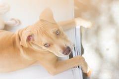 Pit bull puppy stock photos