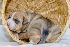 Pit bull puppy dog. Sleeping in basket Stock Images