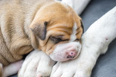 Pit bull puppy dog Royalty Free Stock Photography