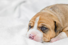 Pit bull puppy dog Stock Photo
