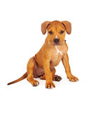 Pit Bull Puppy Fawn Color Photos libres de droits