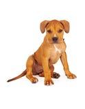 Pit Bull Puppy Fawn Color Royaltyfria Foton