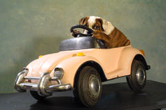 Pit Bull Puppy Hiding Behind The Wheel Stock Image