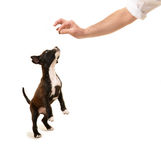 Pit bull puppy jumping for treat Stock Photos