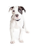 Pit Bull Puppy Looking royalty-vrije stock fotografie