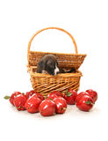 Pit bull puppy in picnic basket Stock Photos
