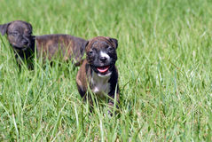 Pit Bull Puppy Stock Photography