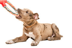 Pit bull puppy playing Stock Images