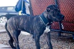 Pit Bull Puppy que snooping em torno do partido de jardim para sucatas foto de stock