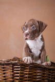 Pit bull puppy sweet Stock Image