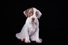 Pit bull puppy sweet Royalty Free Stock Image